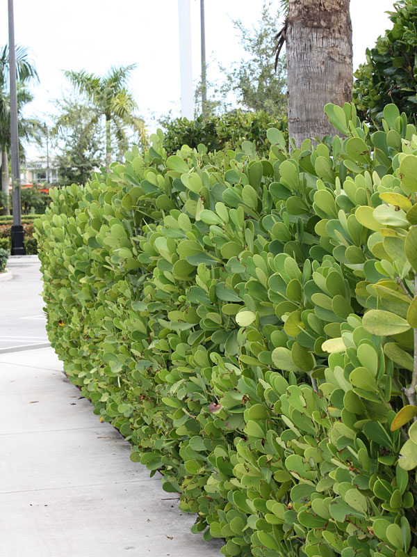 Autograph Tree Clusia Rosea Real Tropicals