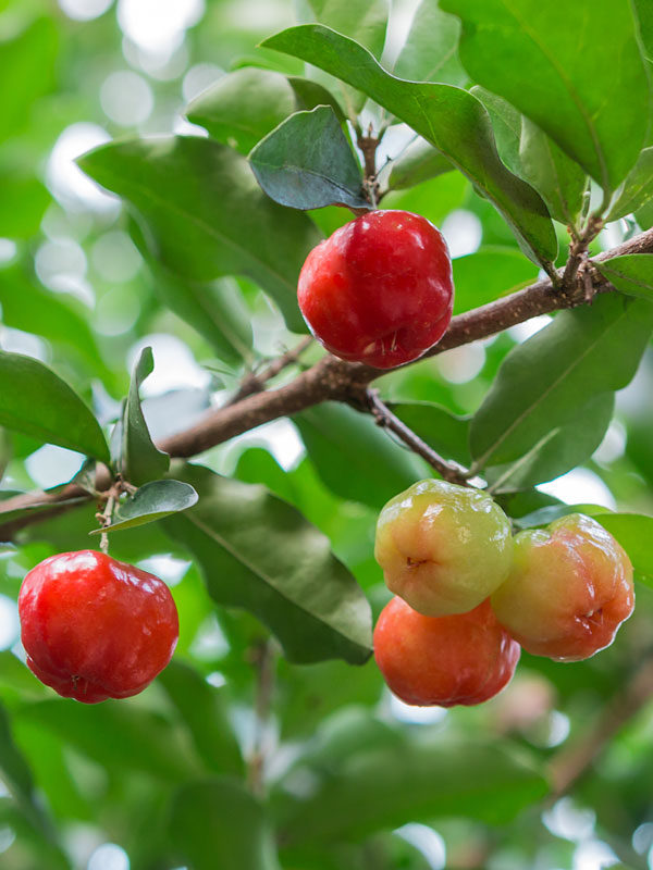 Acerola Cherry Pictures
